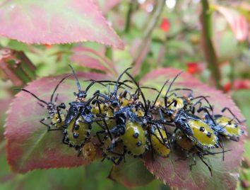 庭のニシキギにカメムシ…